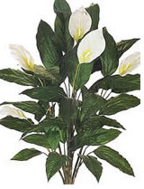 depolluantes-spathiphyllum