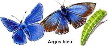 papillon-argus