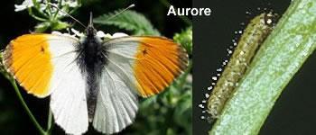 papillon-aurore