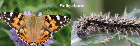 papillon-belle-dame