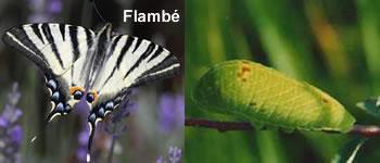 papillon-flambe
