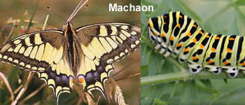papillon-machaon