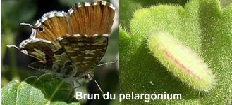 papillon-pelargonium