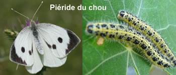 papillon-pieride