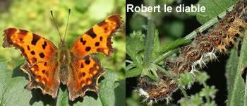papillon-robert