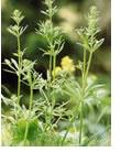 herbes-mauvaises-10
