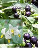 plantes-dangereuses-05