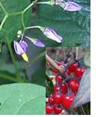 plantes-dangereuses-16