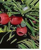 plantes-dangereuses-19