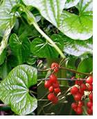 plantes-dangereuses-22