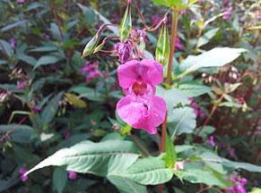 plantes-invasives-07